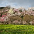 Photos: 花見山公園