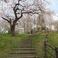弁天山の桜