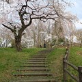 写真: 弁天山の桜