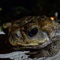 写真: グアム島のオオヒキガエル