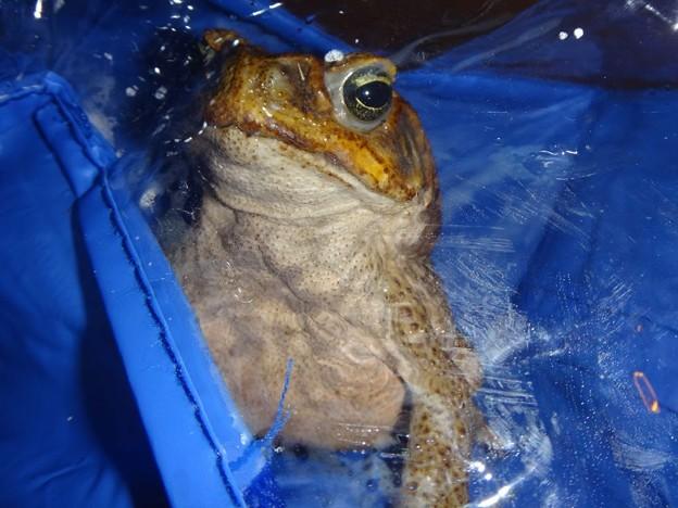 オオヒキガエルを捕まえた