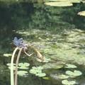 沼のチョウトンボ