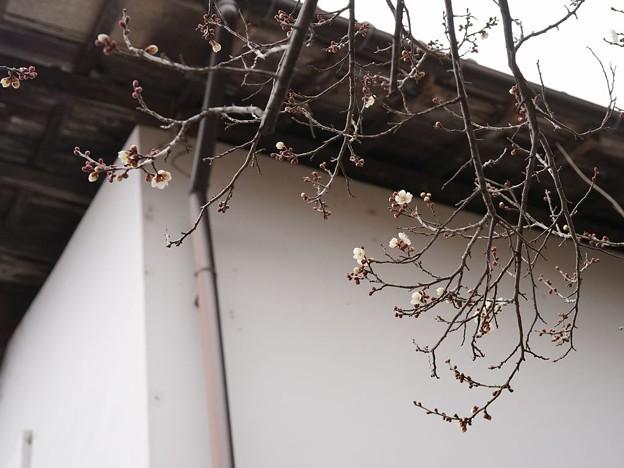 蔵のそばの白梅