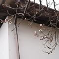 Photos: 蔵のそばの白梅