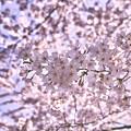 Photos: ピンクの花びら