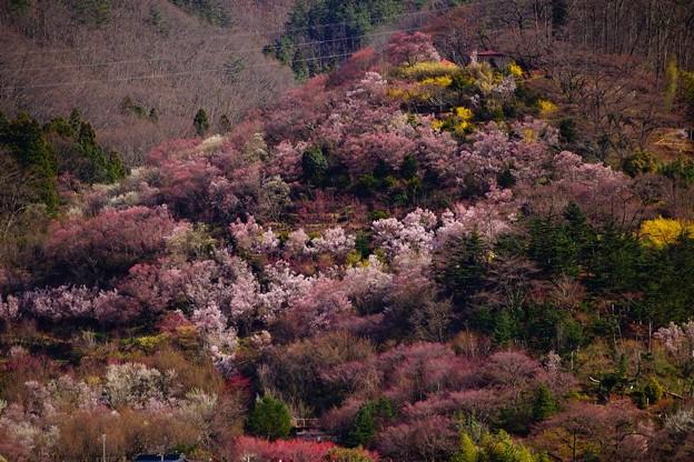 Photos: 薄曇りの日の花見山