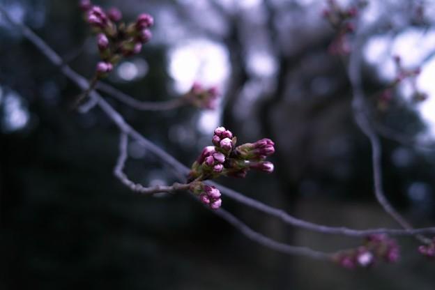 ソメイヨシノの蕾