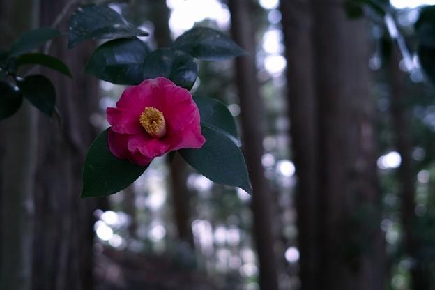 Photos: 椿