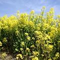 塩ノ崎の菜の花