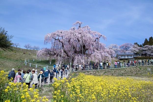 三春滝桜への道