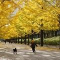 Photos: 銀杏並木にて