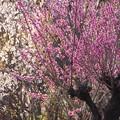 花見山付近の花桃畑