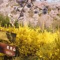 Photos: 花見山へ