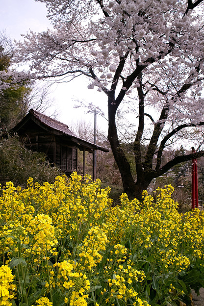 祠と桜と菜の花