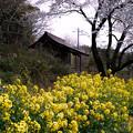 Photos: 菜の花と桜