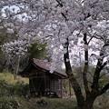 Photos: 祠と桜