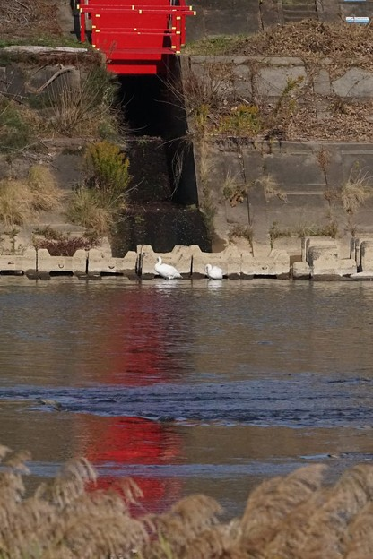 阿武隈川の白鳥
