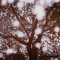 護国寺の桜