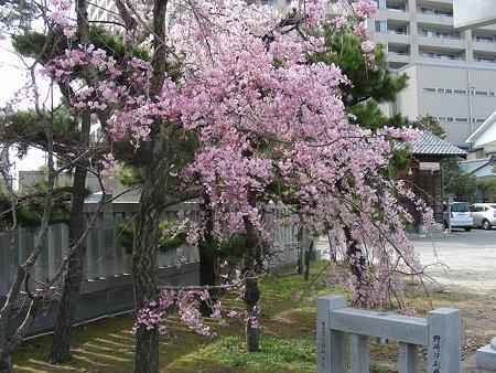 三社神社のしだれ桜