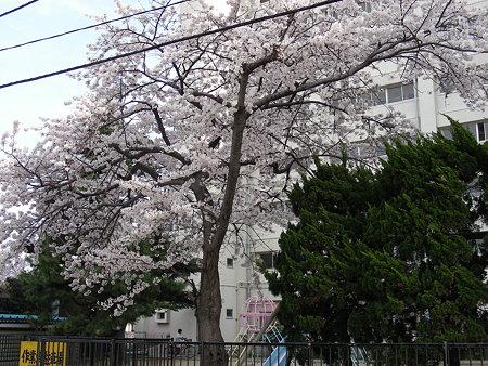 新潟市営宮浦住宅の桜