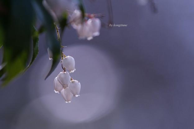 Photos: あせび
