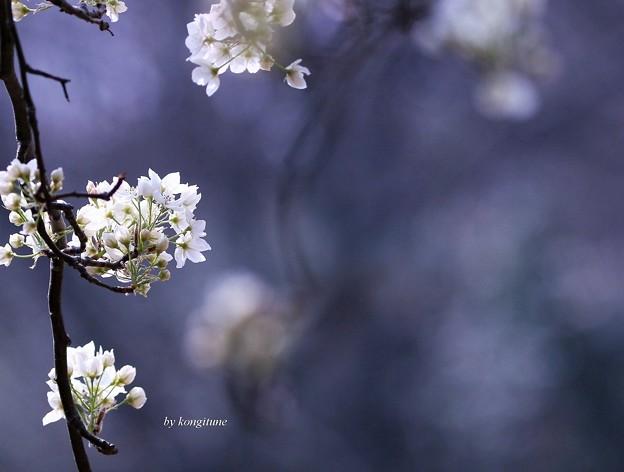 写真: マメナシの花