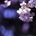 写真: お山の桜