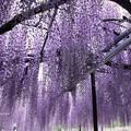写真: 揺れて咲く