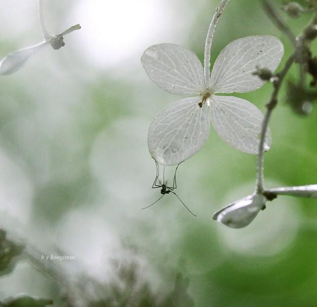 写真: 雨のノリウツギ