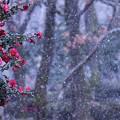 写真: 雪の山茶花