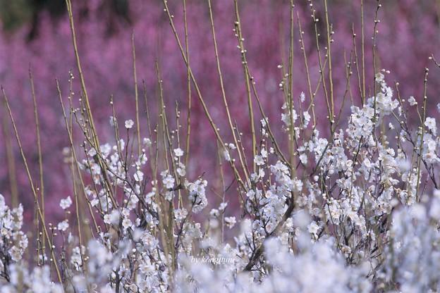 Photos: 春を歌って・・・