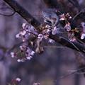 写真: 山の桜に・・・