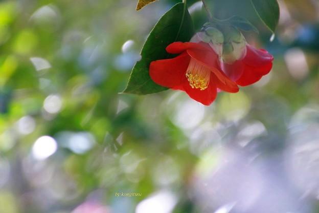 Photos: 春つばき