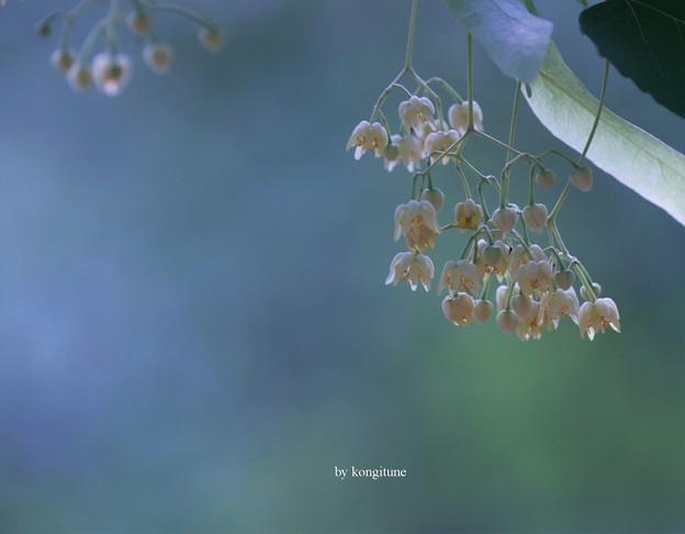 Photos: 菩提樹