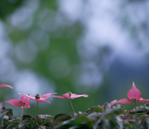 Photos: ヤマボウシ