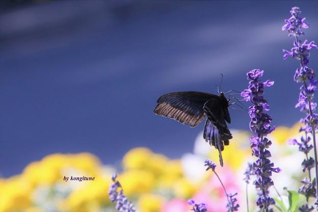 Photos: 北のアゲハ蝶