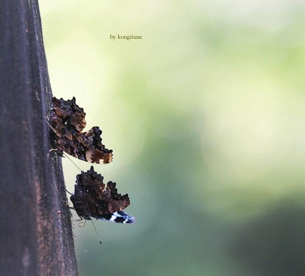 蝶が来る木