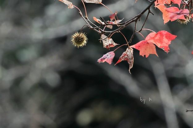 Photos: アメリカ楓