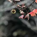 アメリカ楓