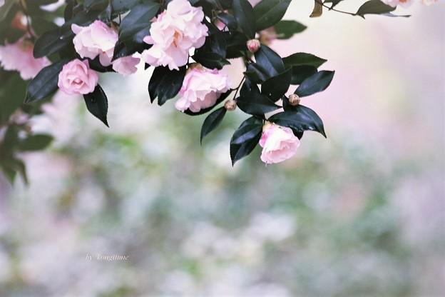 Photos: 山茶花しぐれ