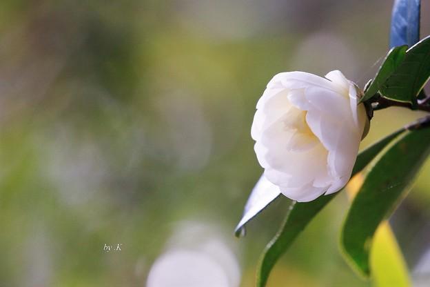 咲いて一輪