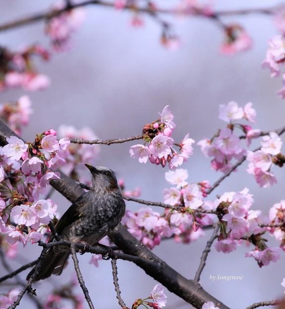 Photos: 三月さくら