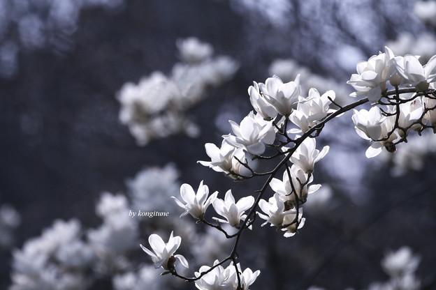 Photos: 白木蓮