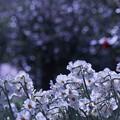Photos: 白い水仙