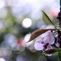 桜はさくら