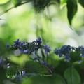 葉陰のアジサイ