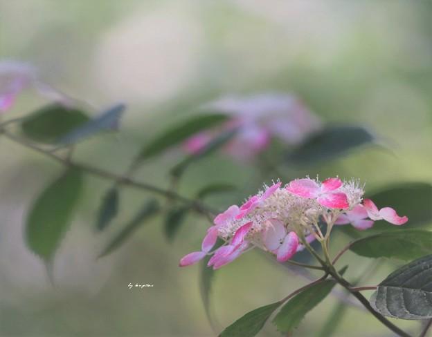 ベニガク紫陽花