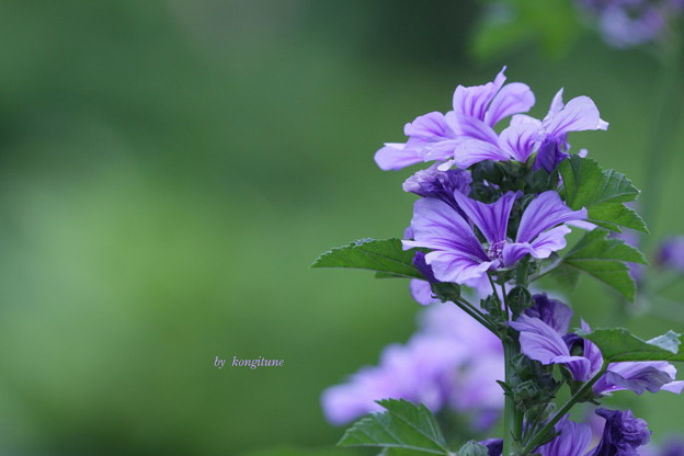 Photos: 立葵