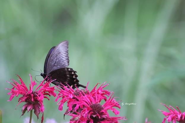 北のアゲハ蝶