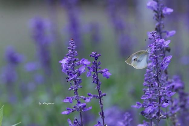 Photos: 青いハーブ畑で